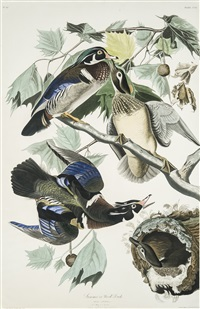 summer or wood duck [plate cciv from the birds of america] by john james audubon